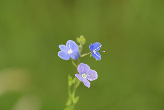 Picture of Forget me not
